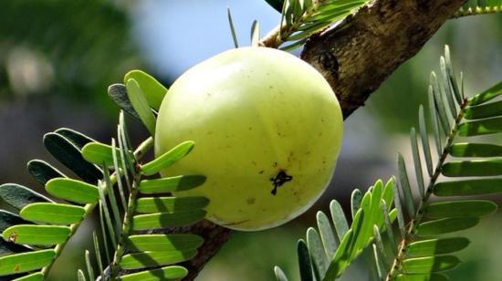 Amla: The Anti-Aging Fruit