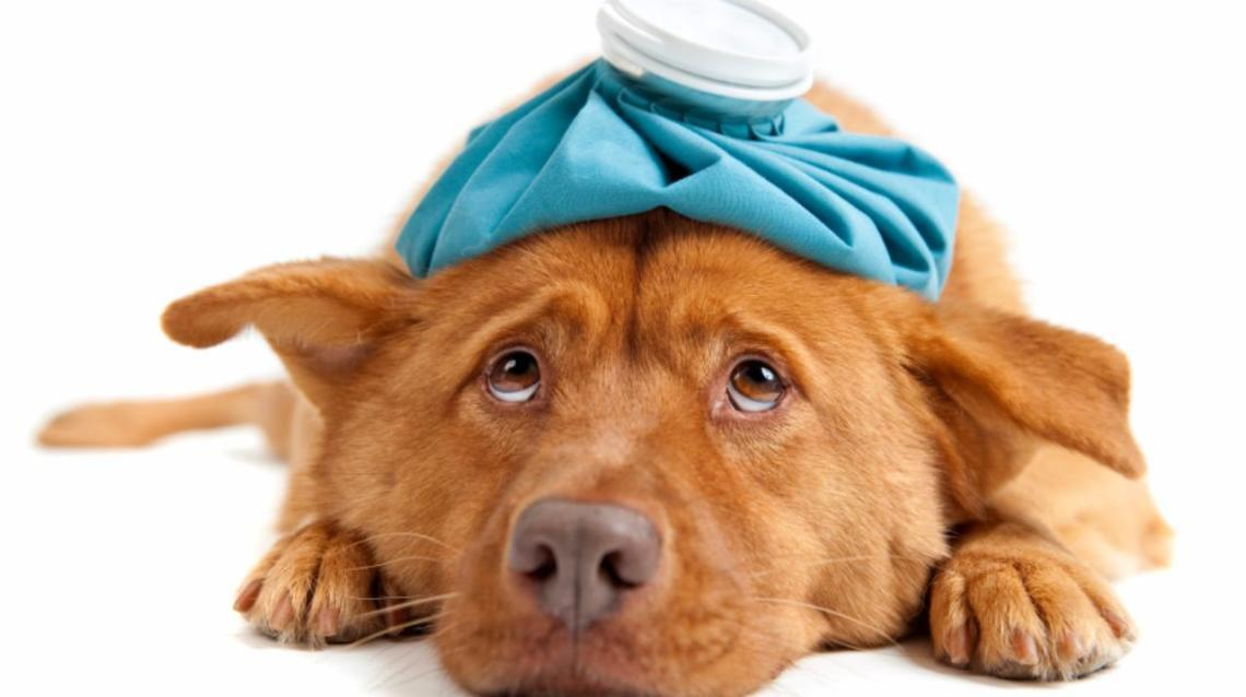 Is My Dog Really Sick but Pretending to Be Normal?