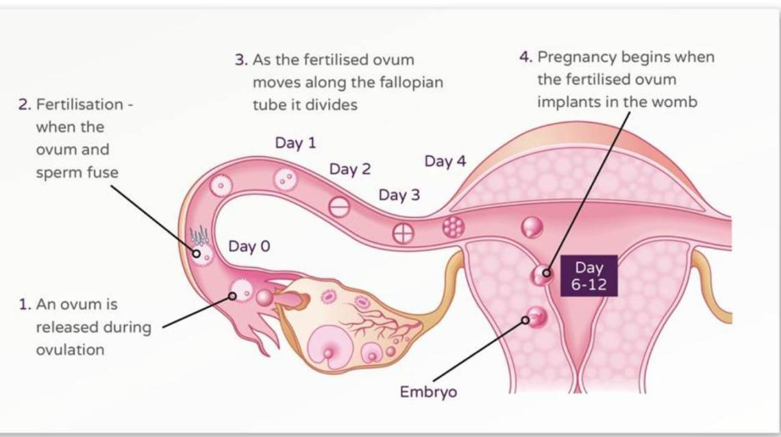 How Do Women Get Pregnant?