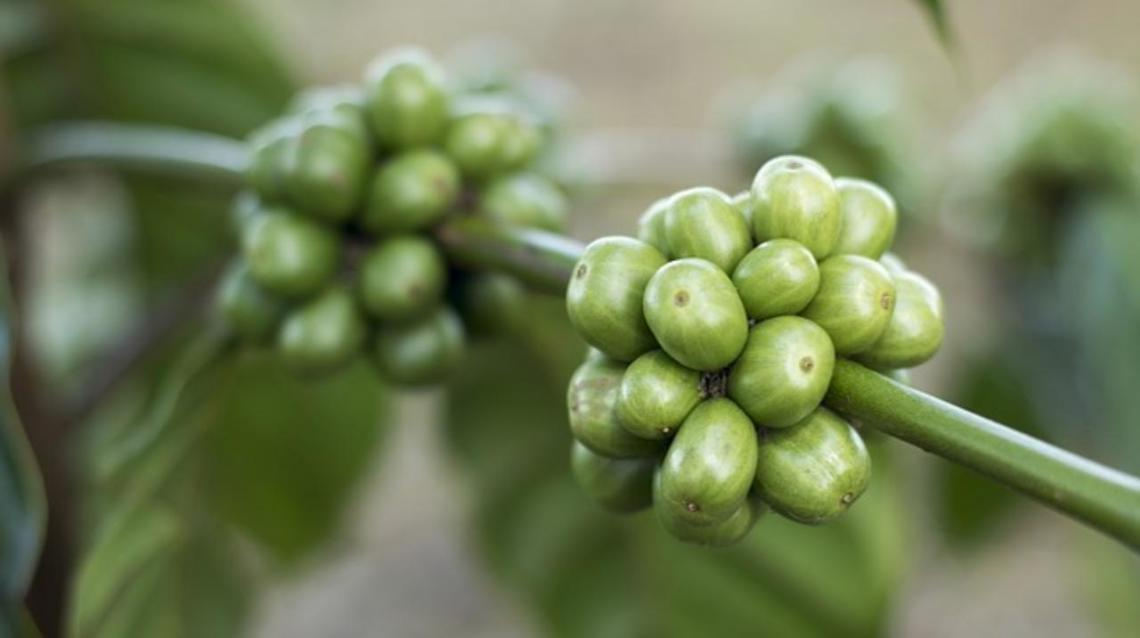 can you take green coffee extract while breastfeeding