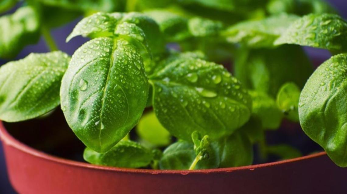Top Health Benefits of Tulsi (Basil)