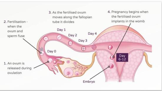 How Do Women Get Pregnant?