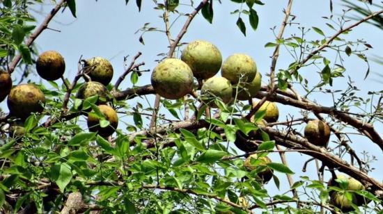 Wonder Fruit- Wood Apple