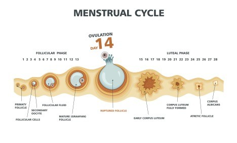 A menstruation cycle is the normal regular cycle of menstruation or periods  occurring every month in a woman, signifying that all the important parts  of the ...